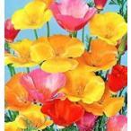 花の種 カリフォルニアポピー