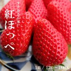 いちご 紅ほっぺ 12〜18粒 予約販売 1月より順次発送予定 滋賀県産 苺 イチゴ 章姫 産地直送