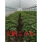 2020年春用苗 ご予約受付開始! 安納芋こがね(白皮) 苗  10本 切り苗 ●さつまいも苗 ●サツマイモ苗