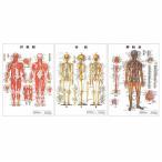 医道の日本社 人体解剖学チャート骨格筋 ポスター 3枚セット(骨格筋・骨格・神経図) パネルなし+さらに選べるプレゼント付