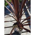 コルジリネ レッドスター 寄せ植え 鉢植え ガーデニング リゾートガーデン