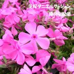 芝桜 ダニエルクッション(9cmポット苗)花色:ピンク