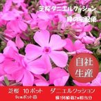 芝桜10ポット ダニエルクッション(9cmポット苗)