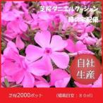 芝桜2000ポット ダニエルクッション(9cmポット苗)