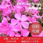 芝桜40ポット ダニエルクッション(9cmポット苗)