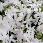芝桜 モンブランホワイト(9cmポット苗)花色:白