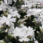 芝桜 リトルドット(9cmポット苗)花色:白