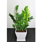 観葉植物 開店祝い ザミオクルカス6号陶器鉢(本体価格15,000円)