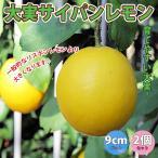 果樹苗 大実サイパンレモン 果樹苗9cmポット 2個セット 人気の柑橘類の苗