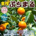 金柑苗 ぷちまる 2年生 接木苗 15cmポット 苗木 1個 柑橘類 送料無料