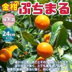 金柑苗 ぷちまる 3年生 接木苗 24cmポット 苗木 1個 柑橘類 送料無料
