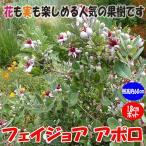 フェイジョア アポロ 花も美しい庭園向き果樹18cmポット 樹高約60cm1本 九州圃場より直送