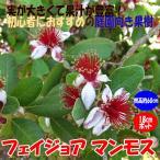 フェイジョア マンモス 花も美しい庭園向き果樹18cmポット 樹高約60cm1本 九州圃場より直送 送料無料