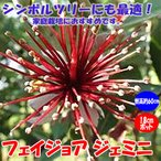 フェイジョア ジェミニ 花も美しい庭園向き果樹18cmポット 樹高約60cm1本 九州圃場より直送 送料無料