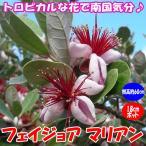 フェイジョア マリアン 花も美しい庭園向き果樹18cmポット 樹高約60cm1本 九州圃場より直送 送料無料