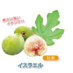 ミニイチジク イスラエル 果樹苗9cmポット 2個セット  秋 翌年春が植え時  即出荷 プライム送料込み価格