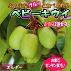 ベビーキウイ エルダー  1本で実が成り 耐寒耐暑性抜群で極甘  皮つきでツルッと食べられるサルナシ改良品種  ほぼ年中植付け可能 ミニ果樹苗9cmポット 2個セット  即出荷 プライム送料込み価格