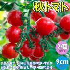 秋トマト  甘いミニトマト 9cmポット自根苗 2個セット  今が植え時です 8月 9月も植え付け可能  真夏の暑さ 秋の日照時間の短い季節や 弱光線でも開花結実しやすい強健な品種です  糖度ものりやすく 食味が良い美味しいミニトマトです  野菜用深めのプランターでも簡単に栽培できます 自社農場から新鮮出荷  実生苗は夏場 徒長しやすいため ロットにより挿し木苗になります  即出荷 プライム送料込み価格