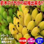 「ドワーフ・モンキーバナナの苗木(育てやすさが人気の矮性バナナ) 13.5cmポット大苗 1個売り」若木のうちから収穫できるおいしい矮性バナナ品種!!薄皮で柔