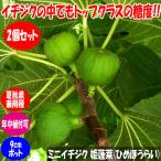 ミニイチジク 姫蓬莱【果樹苗9cmポット/2個セット】夏秋果兼用種の無花果。蓬莱柿の改良種として作出された品種。小さめの実で皮付きのままツルっと食べられます