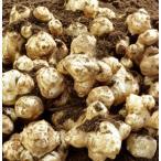 とれたて生菊芋(キクイモ)3kg 土付き 熊本県産 冬季限定 数量限定