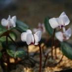 白花シクラメン・コウム