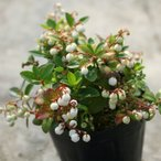 白玉の木 3.5寸苗