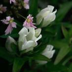 白花ササリンドウ