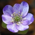 玉三郎 標準花