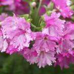 八重咲きサクラソウ 「喝采」