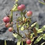 高山植物苗
