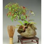 現物お届け盆栽専門店が自信を持ってお届け致します