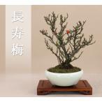 送料無料(伊予路園)  長寿梅/チョウジュバイ/小品盆栽(樹高:約20cm)
