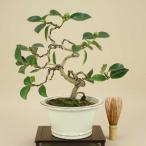 【現物お届け】盆栽専門店が自信を持ってお届けします
