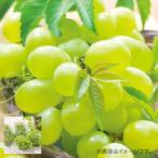 お中元 ギフト 送料無料 メーカー直送 ぶどう フルーツ 果物 お取り寄せスイーツ スイーツ グルメ 広島 シャインマスカット 詰め合わせ