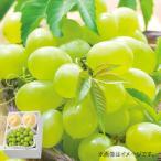 お中元 ギフト 送料無料 メーカー直送 桃 モモ ぶどう フルーツ 果物 お取り寄せスイーツ スイーツ グルメ 岡山の白桃 & シャインマスカット