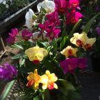 蘭 ミニカトレア  8種盛り
