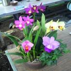 蘭 ミニカトレア  3種盛り