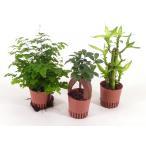 ハイミニ苗 3号 9Φ 観葉植物/ハイドロカルチャー/水耕栽培/インテリアグリーン