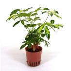 シェフレラ 斑入り ハイミニ苗 3号 9Φ 観葉植物/ハイドロカルチャー/水耕栽培/インテリアグリーン