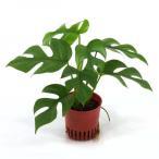 ヒメモンステラ ハイミニ苗 3号 9Φ 観葉植物/ハイドロカルチャー/水耕栽培/インテリアグリーン