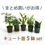 キュート苗 5鉢セット 2号 6Φ 観葉植物/ハイドロカルチャー/水耕栽培/インテリアグリーン