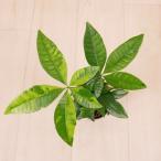 観葉植物/ハイドロカルチャー/水耕栽培/インテリアグリーン