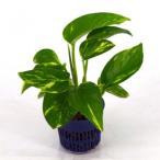 ポトス ゴールド リトル苗 1.5号 4.5Φ 観葉植物/ハイドロカルチャー/水耕栽培/インテリアグリーン