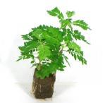 ジャカランタ オアシス苗 観葉植物/ハイドロカルチャー/水耕栽培/インテリアグリーン