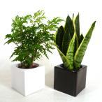 ハイミニフィット 3号苗 観葉植物/ハイドロカルチャー/水耕栽培/インテリアグリーン