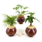 ヤシの実ポット L セラミス植え 観葉植物/ハイドロカルチャー/水耕栽培/インテリアグリーン