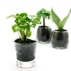 プチグリーン 炭植え 観葉植物/ハイドロカルチャー/水耕栽培/インテリアグリーン