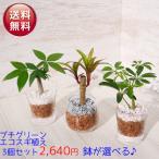 送料無料 プチグリーン エコスギ植え 3コセット 植物おまかせセッ 観葉植物 ハイドロカルチャー 水耕栽培 インテリアグリーン