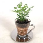 コーヒーカップオスロ エコスギ植え 観葉植物/ハイドロカルチャー/水耕栽培/インテリアグリーン